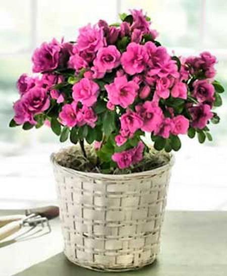 Азалия фото цветов