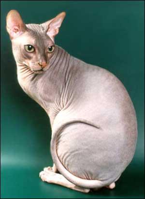 Кошки породы сфинкс – правила ухода