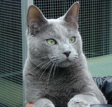 Кошки русская голубая кошка